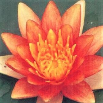 Nymphaea 'Comanche' (Variable Colour Water Lily)