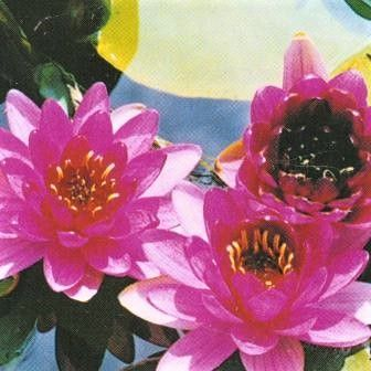 Water Lilies for Small Ponds